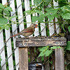 DSC_5830 female cardinal_DxO