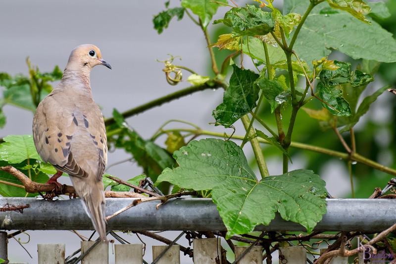 DSC_2744 morning dove_DxO