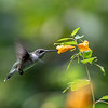 DSC_2536 hummingbird
