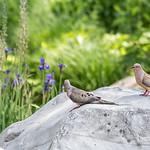 DSC_8749 Mourning doves