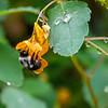 DSC_0733 bumblebee on jewel weed