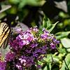 DSC_5805 swallowtail