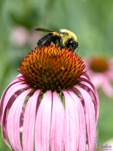DSC_8047 bumblebee on a cone flower