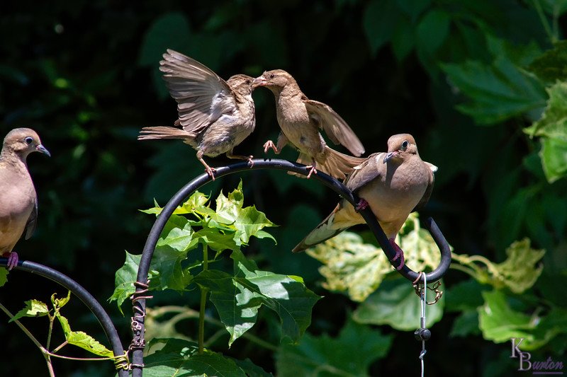 """Now the crazed histrionics of the first sparrow really got the dander up on the second one. You can almost seem to see her get up on her hunches, tap her foot down and tell the first female """"I've got just as much right to sit here as you do!"""", not backing down an inch. Notice the dove on the right continues to inch over, but is now quickly running out of real estate."""