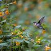 DSC_5190 hummingbird