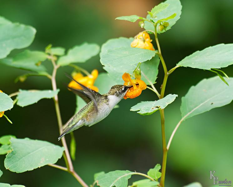 DSC_8301 the hummingbirds of Clove Lakes_DxO