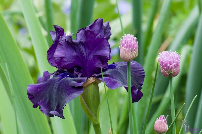 DSC_5992 purple iris