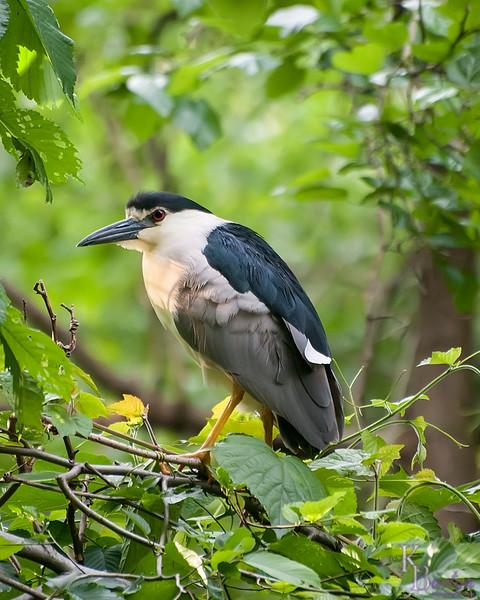 DSC_0800 Black crowned heron