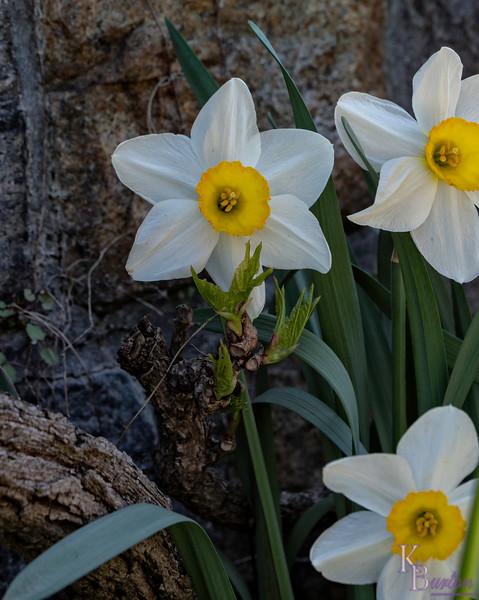DSC_1229 white lion daffodils