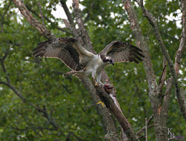 DSC_2777 osprey feeding-TS