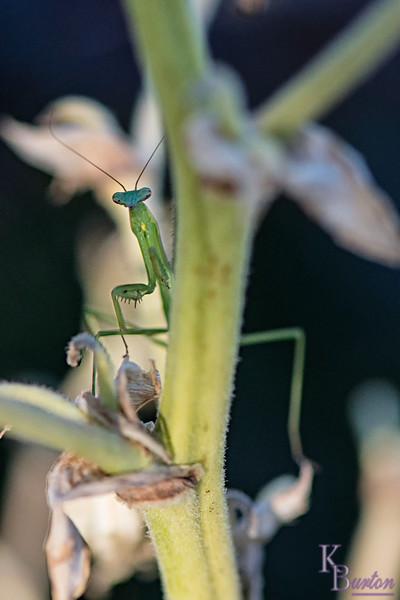 DSC_2305 baby mantis