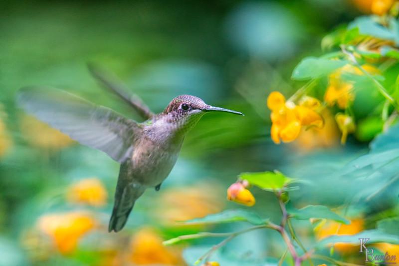 DSC_2574 faux painting of hummingbird