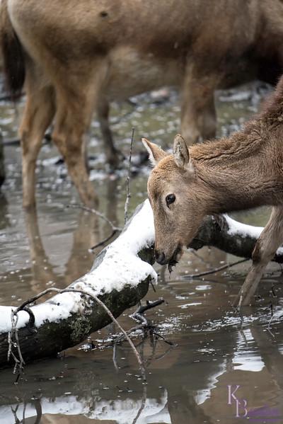 DSC_8471 Pere David's deer