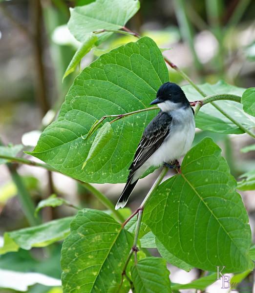 DSC_1548 eastern kingbird_DxO