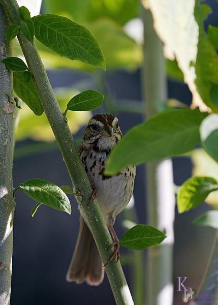 DSC_9230 sparrow_DxO