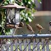DSC_3545 backyard visitors_DxO