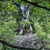 Both the last time I came here and discovered the nest and today I tried to get a picture of one of the parents as it landed. Finally succeeded several times today. But none of them were very sharp. Next year I hope to be more successful in that regard.