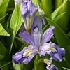 DSC_1312 purple Iris