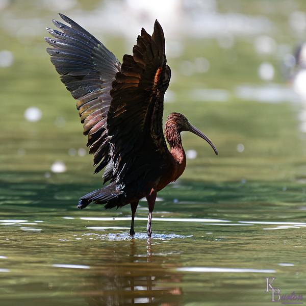 DSC_0788 scalet ibis_DxO