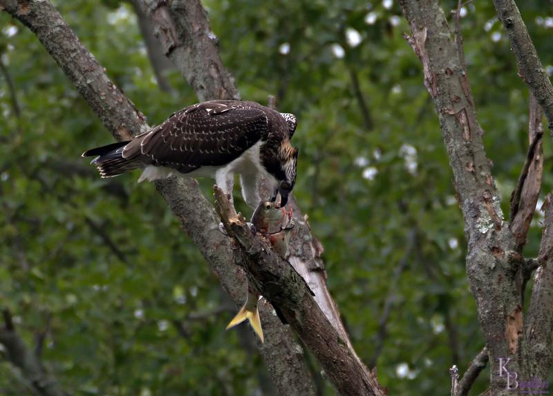 DSC_2232 osprey feeding -TS