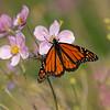 DSC_7631 monarch