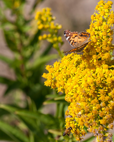 DSC_2506 the butterflies of New Dorp beach