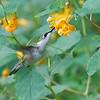 DSC_9466 the hummingbirds of Clove Lakes_DxO