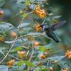 DSC_5467 hummingbird
