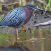 DSC_2635 green heron