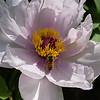 DSC_2550 honey bee