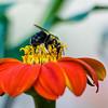 DSC_6373 bumblebee