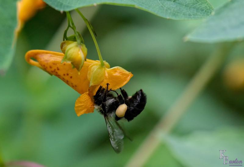 DSC_8670 bumble bee on jewel weed