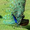 DSC_2113 peacock