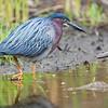DSC_2606 green heron