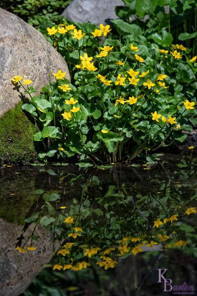 DSC_1125 marsh marigolds