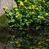 DSC_1125 marsh marigolds