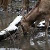 DSC_8470 Pere David's deer