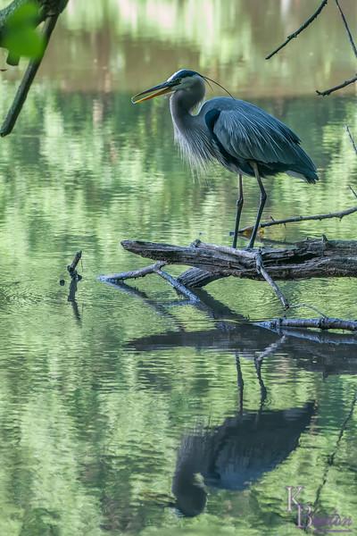 DSC_6606 great blue heron