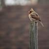 DSC_9175 female cardinal