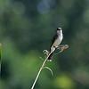 DSC_9507 eastern kingbird_DxO