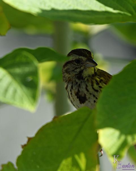 DSC_9234 sparrow_DxO