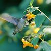 DSC_9768 the hummingbirds of Clove Lakes_DxO
