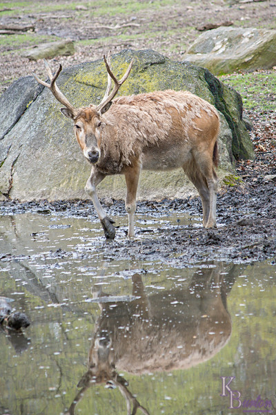 DSC_3413 Pere David's deer