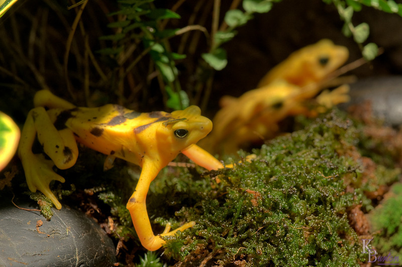 In the spring of 08', the first place I came to to put my brand new DSLR through its' paces was the Central Park zoo. That day I got a nice shot of an pair of Panamanian golden frogs. But still, I always wanted a better photo of them, but never found a better composed shot, or if I did the crowds around their display were too numerous to even attempt it. After almost 3 years I FINALLY got that second chance.