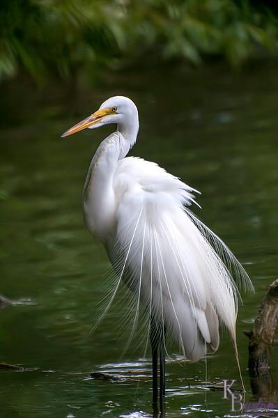 DSC_4565 great white egret