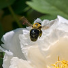 DSC_7747 pollenator