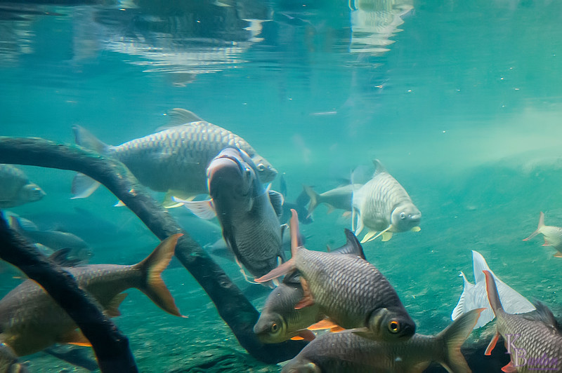 All the fascinating creatures moving about in the trees are absolutely wonderful but the gi-normous tank / habitat at the Bronx zoo's Wild Asia exhibit is my favorite part of the experience. The mini theatre at the end that sits below the waterline is sooooo cool!! As you sit on the benches you watch all the giant fish swim towards you. It's a real sight to behold.