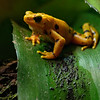 DSC_1836 Panamanian golden frog