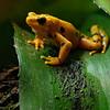 DSC_1836 Panamanian golden frog