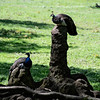 DSC_0628 peacocks